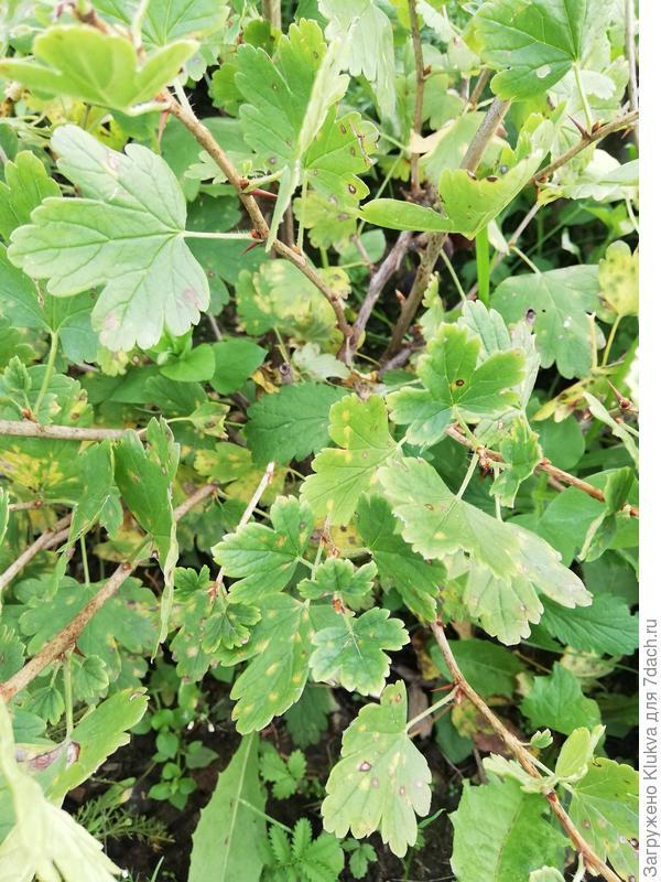 Пятна на листьях крыжовника