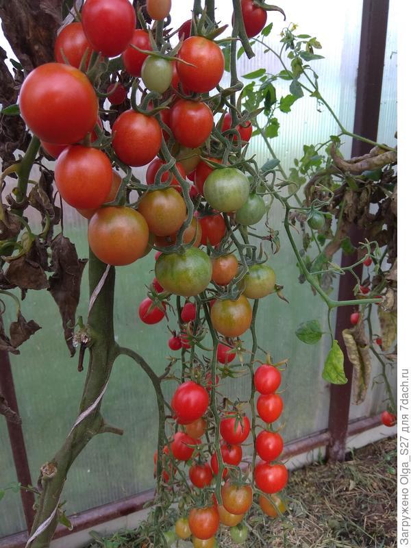Вот они - ярко-красные бусины томата на зеленых веточках.