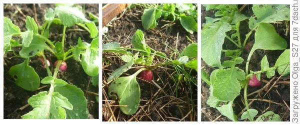 Появились маленькие корнеплоды. 1 мая