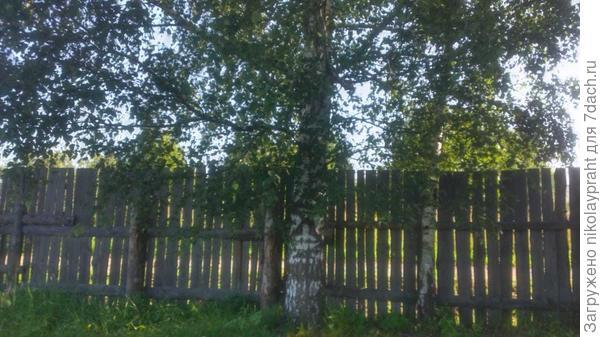 Взрослое дерево стоит почти на краю участка. Убирать не будем.