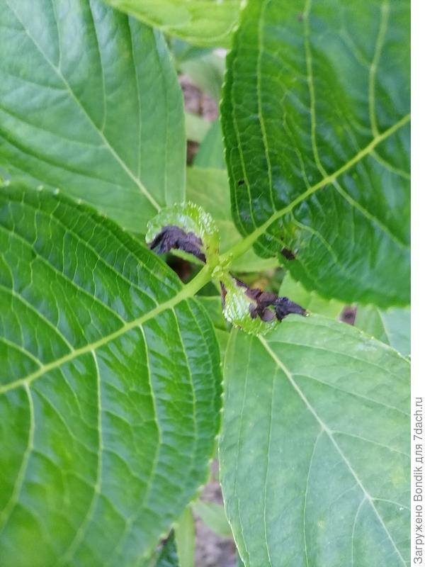 На гортензии крупнолистной появились черные пятна, со временем листья в этом месте стали сухие. Чем можно обработать?