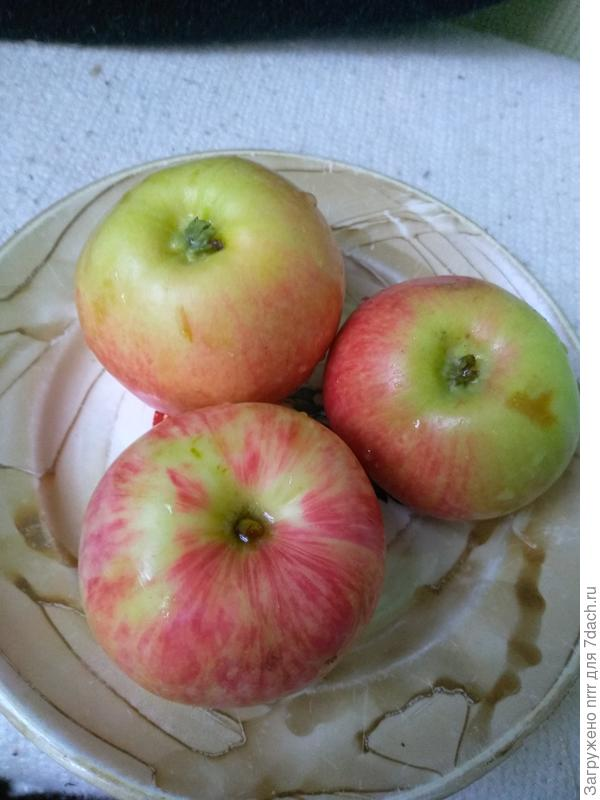 сорт яблок???