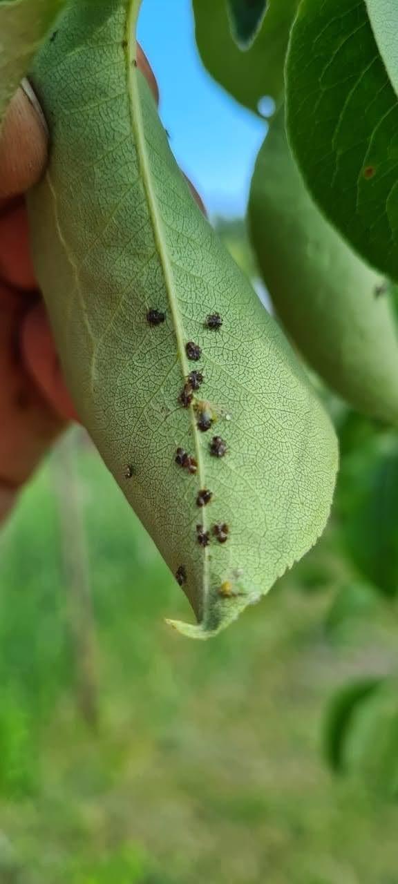 Какая болезнь у груши и какими вредителями она поражена? Помогите определить!