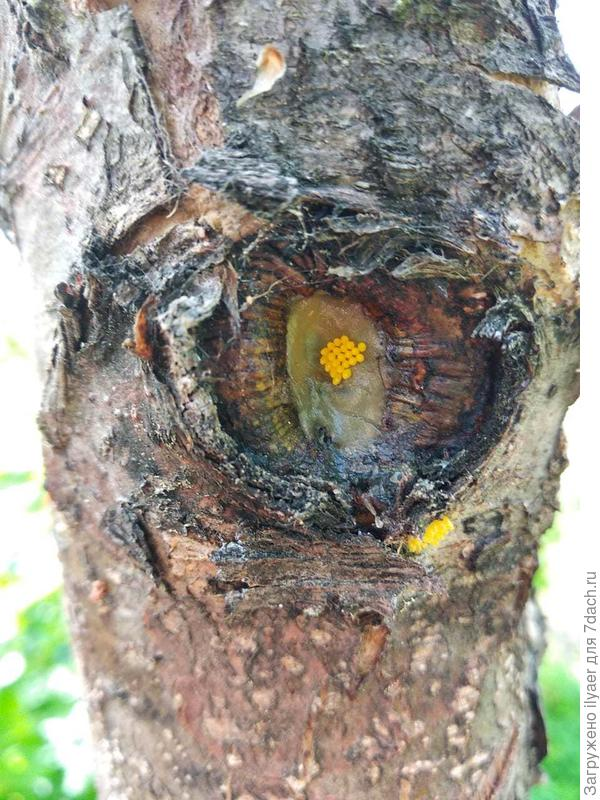 Яйца какого вредителя обнаружены на стволе яблони?