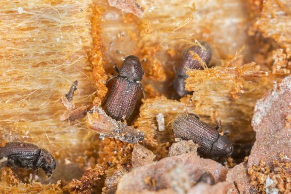 Если вы заметили наличие буровой муки под деревянными элементами дома или услышали хруст внутри древесины, значит в вашем доме поселились вредители