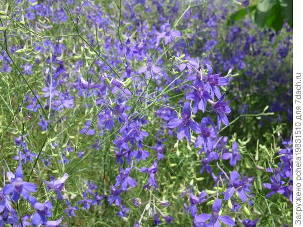 Как выращивать живокость полевую?