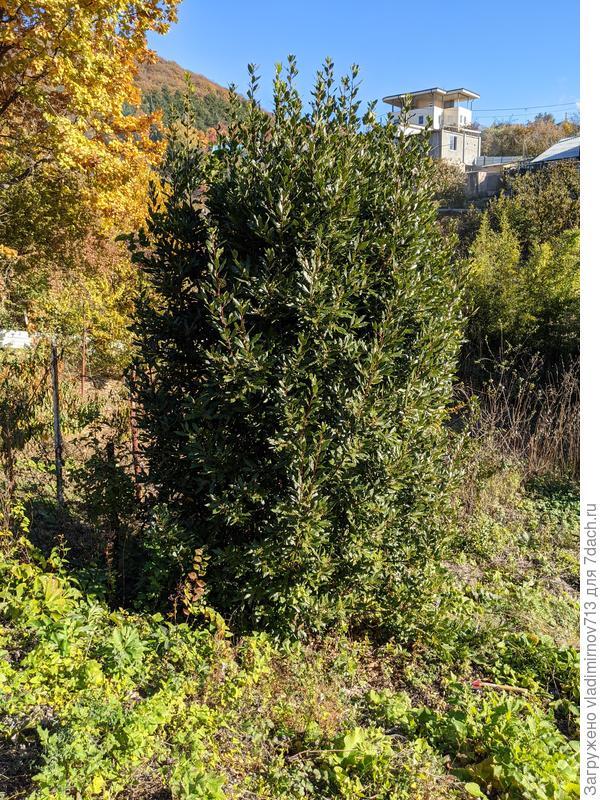 Как восстановить спиленное дерево лавра из поросли?