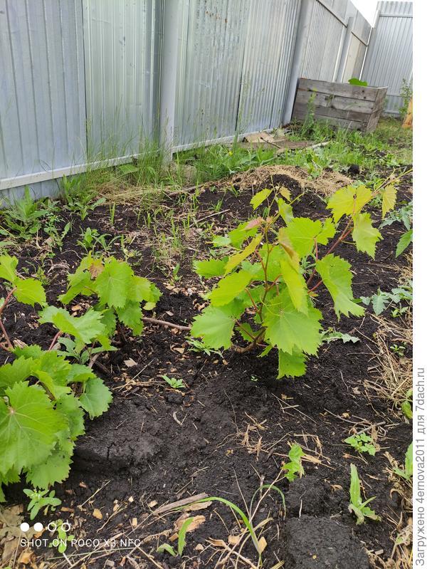 Нужно ли сейчас как-то обрезать виноград?