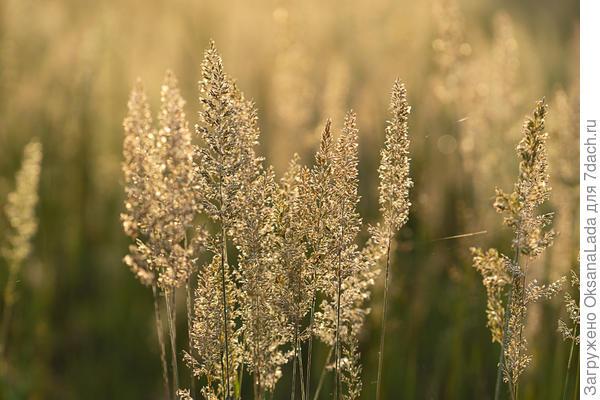 Метелки луговой травы
