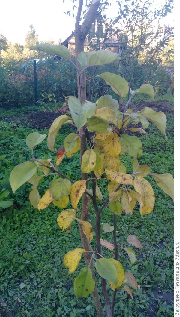 Желтеют листья молоденькой яблони. Что можно сделать?