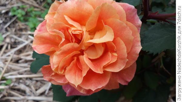 Пур лямур дюн шато. Пока не впечатлила. Первогодка осенней посадки, вымахала 1,50, цвела обильно, но сами цветы не понравились. Открывают сердцевинку,  аляповатые, некрупные. На фото самый красивый цветок