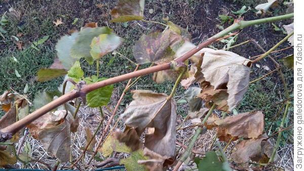 сухие листья не облетают, верхушка побега еще зеленая