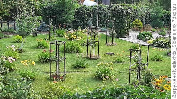 Мои лилейники растут фонтанами на газоне в плодовом саду