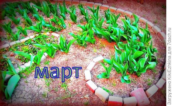 Можно ли сажать тюльпаны в старую рабатку? Чем подкармливать молодые луковицы?