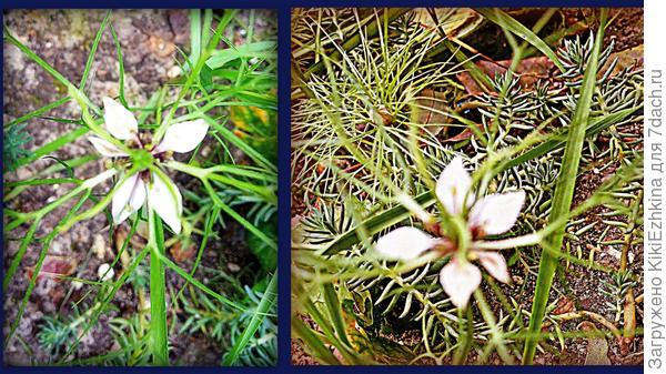 вырос нежный  тоненький цветочек в ноябре -  что это?