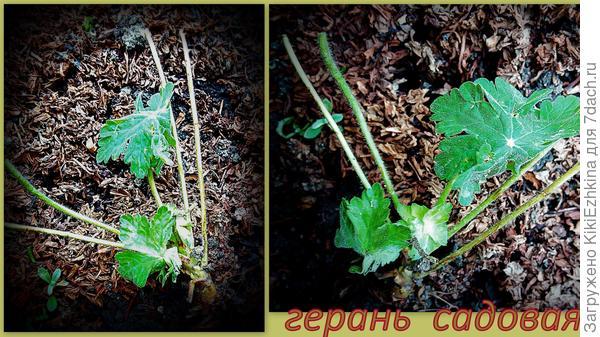 Принесла  уже два  корешка  герани садовой  с городского  газона,  надеюсь  старые  кусты   спокойно перенесут это небольшое  прореживание  внутри загущённой посадки...