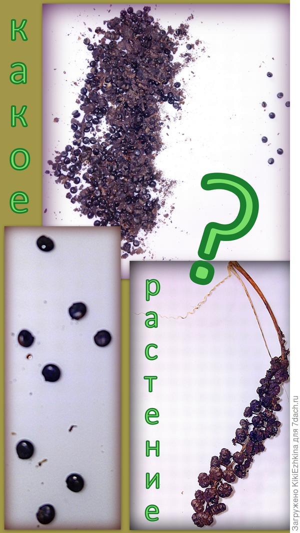 Что за  семена?  Какое растение  из них вырастет?