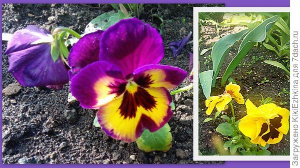 Виолы из магазина  цветут на наших бордюрах...