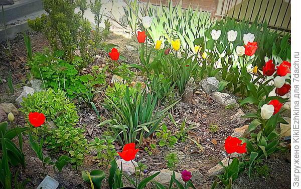Задумывалась   следующая  композиция- два куста ЮККИ по центру клумбы, вокруг обложены камнями и  вдоль этого каменного ободка- тюльпаны разных расцветок.