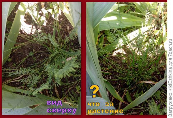 Что за  травка-красавица  пробралась в мой сад?