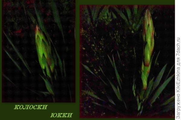 Второй  сезон цветения  ЮККИ  в моём саду :  выброшены  2  новых цветоноса...