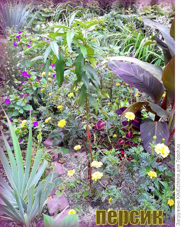 Под персиком,  рядом с Канной  растёт  Колеус,  которого нужно занести в дом... и поскорее...