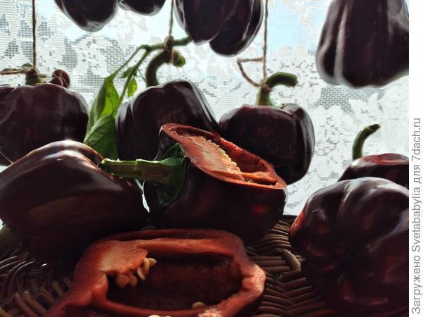 Перец 'Коричневый куб' - шоколадный жизнелюб. Итоговый отчет