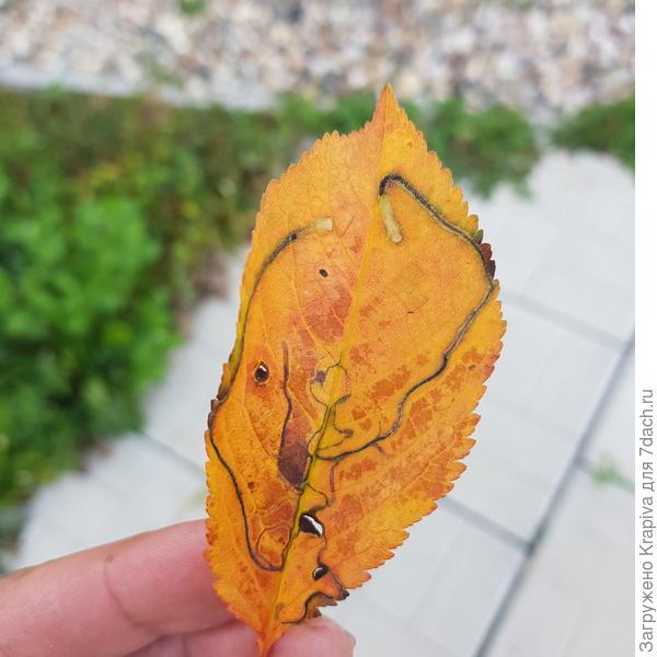 Лист вишни 2