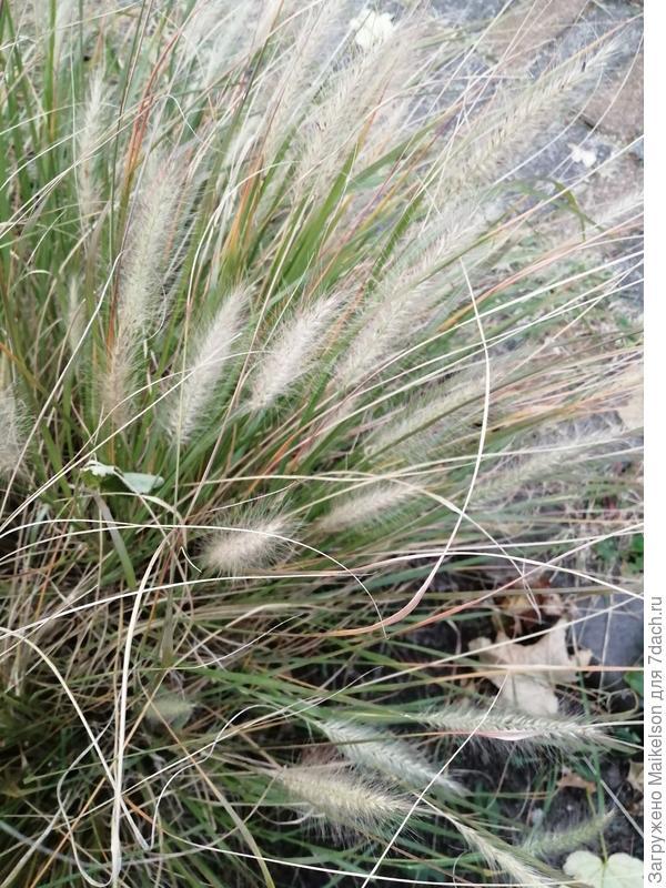 Подскажите название растения? Похожее на осоку, напоминает Мискантус