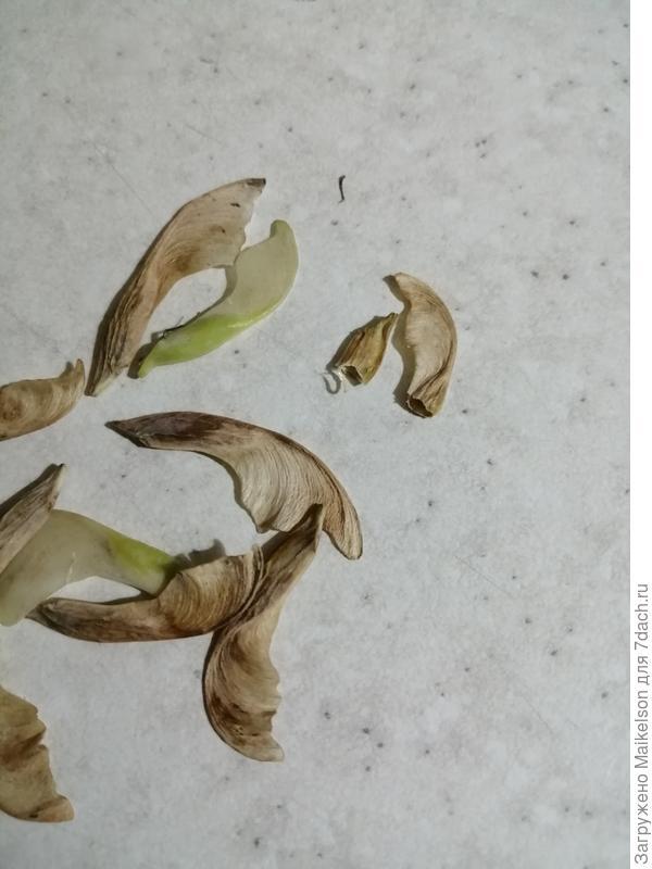 Подскажите пожалуйста, семена клена ясенелистного Фламинго почему то пустые, но в конце пустоты имеется темное мелкое то-ли семечко или что то другое, так и должно быть? Или семена пустоты крылатки должна быть заполнена полноценным ядром?