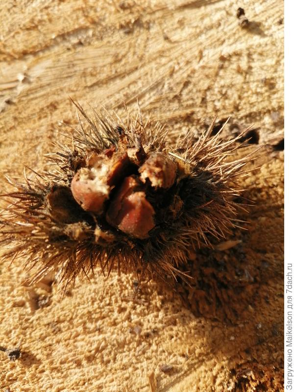 Какого растения этот плод с орешками?