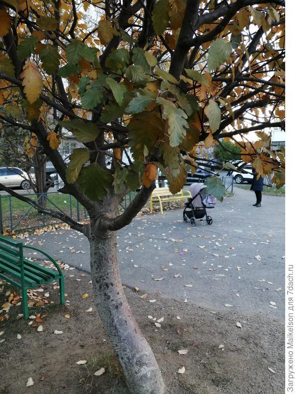 Подскажите пожалуйста название этого дерева, кора гладкая красная, имеет плоды ягоды