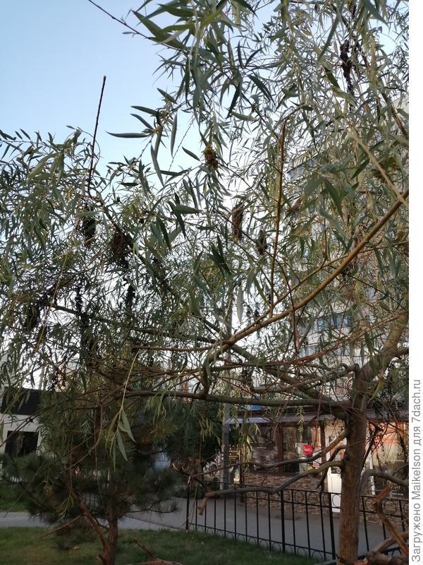 Подскажите пожалуйста название этого дерева, похожее на иву, видны метелки