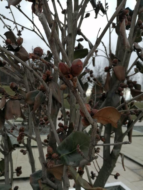 Подскажите пожалуйста название этого дерева? Может какой то вид Магнолии