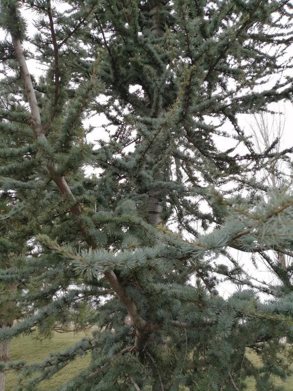 Подскажите пожалуйста название этого хвойного дерева?