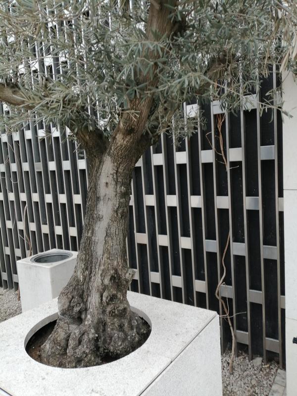 Подскажите пожалуйста название этого дерева, похоже на оливковое
