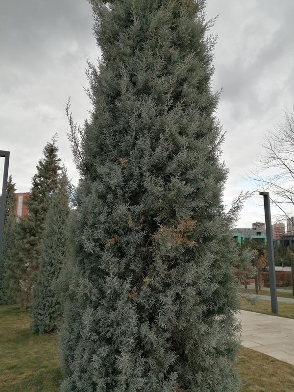 Подскажите пожалуйста название этого хвойного дерева, хвоя голубоватая