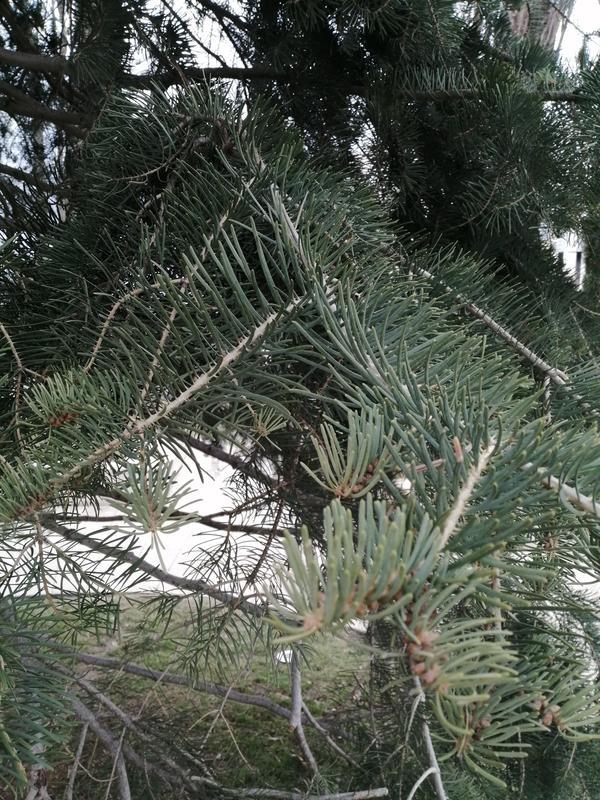 Подскажите пожалуйста название этого хвойного дерева, хвоя мясистая и мягкая