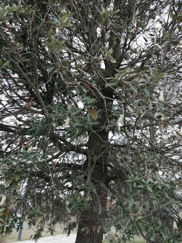 Подскажите пожалуйста название этого дерева?