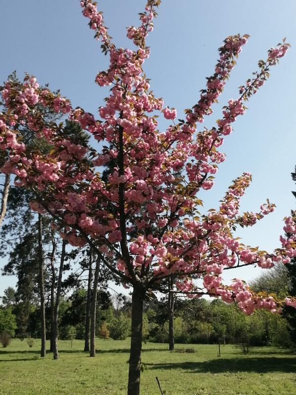 Подскажите пожалуйста название цветущего дерева?