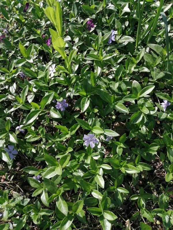 Подскажите пожалуйста название этого цветущего растения?