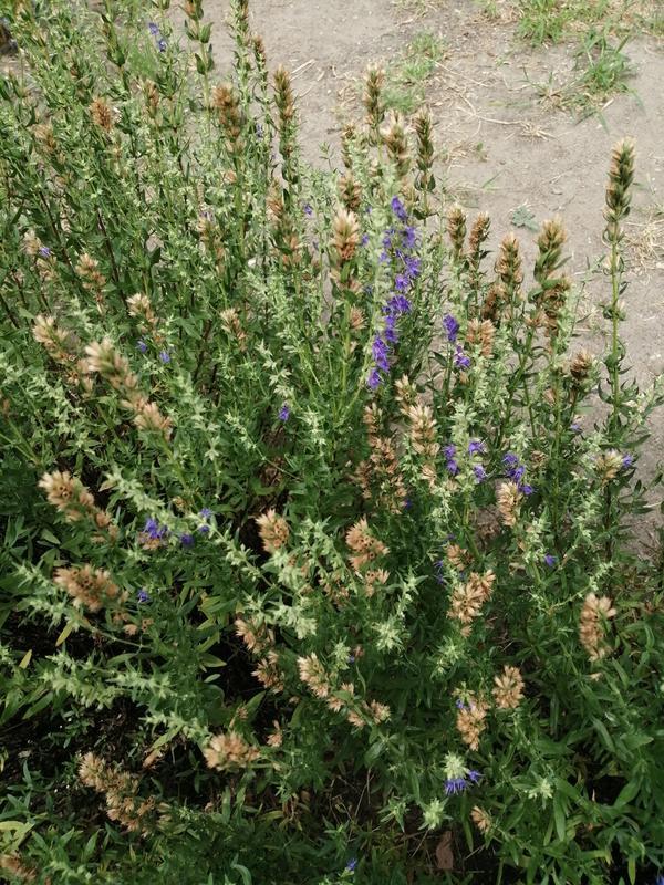 Подскажите пожалуйста название этого растения?