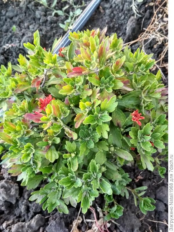Хризантема,изменился цвет листьев