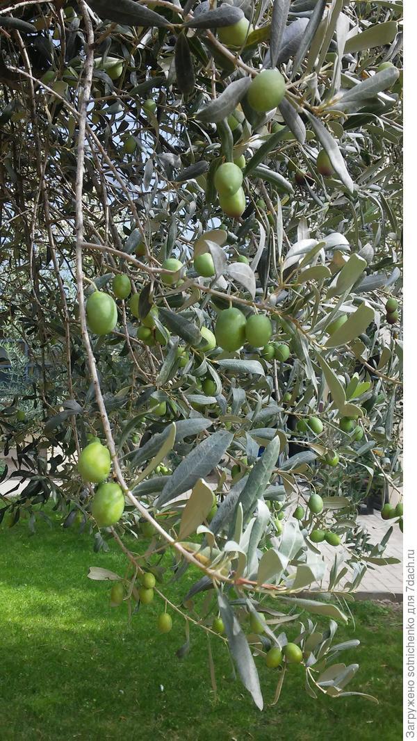Какие плоды маслины европейской лучше для засолки - зеленые или черные?