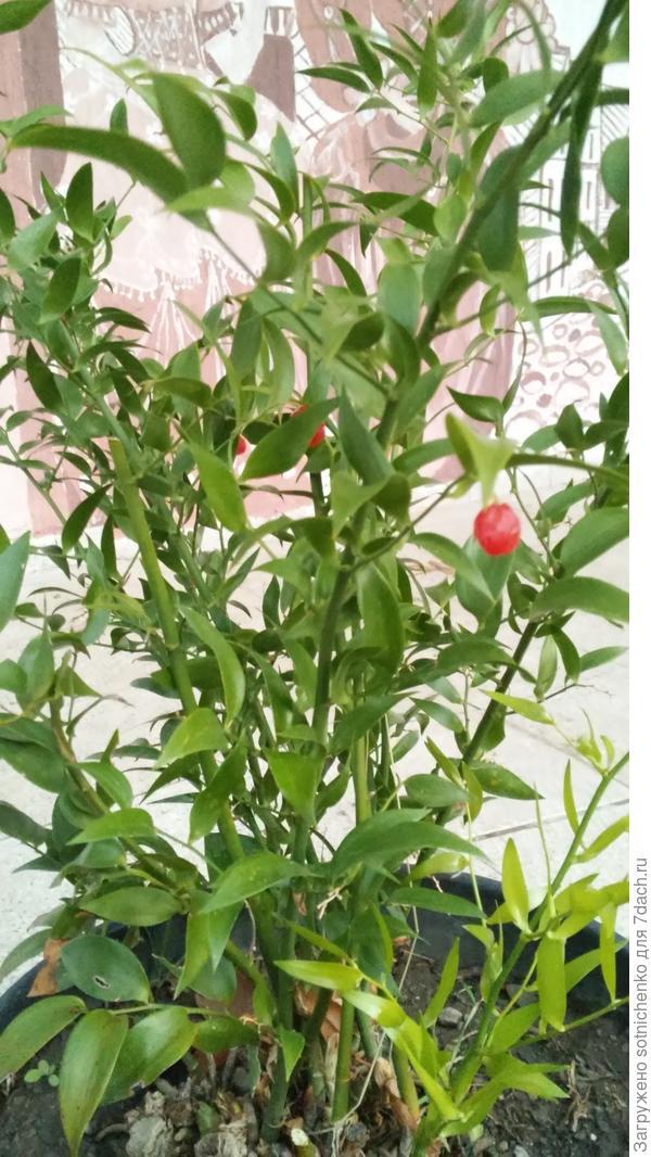 Невысокий. Вечнозеленый с красными плодами.