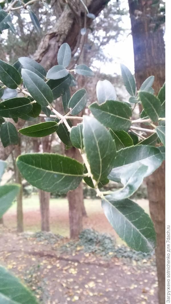 Вечнозеленое. В основном невысокое деревце до 5-7 метров в высоту.