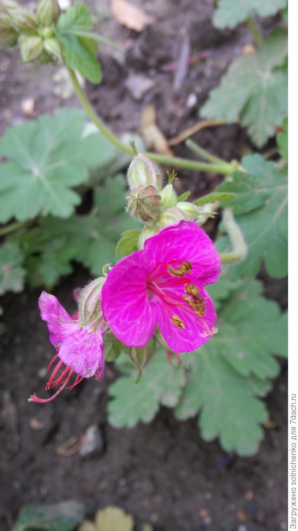 Посадили в середине осени  текущего года,а она взяла  и зацвела  к Новому году! Хватит ли сил на летнее цветение?