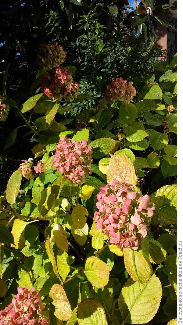 Гортензия крупнолистная этой осенью(хлорозит). Из-за наличия щелочи в почве и воде у нас,хотелось бы добиться хотя бы насыщенно розового цвета!Кто пользовался этим удобрением поделитесь опытом.
