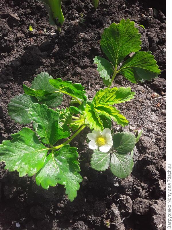 Чем можно обработать цветущую землянику от вредителей и болезней?