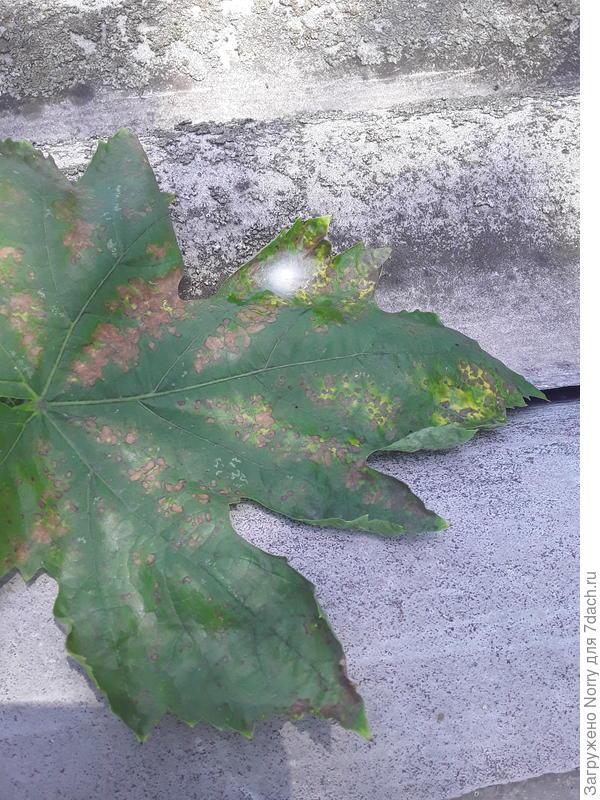 На листьях винограда коричневые пятна. Что это с растением?